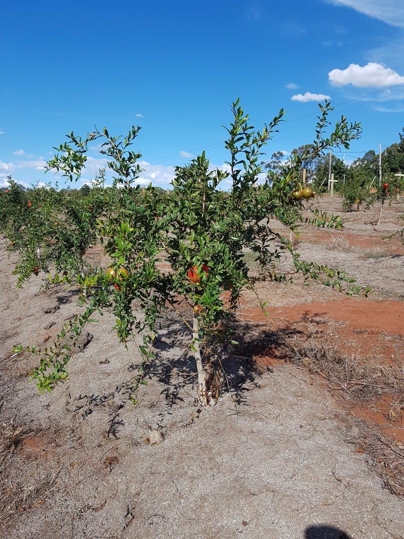 Pomegranate Tree - Jodhpur Red