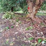 Fruit drop - June storms