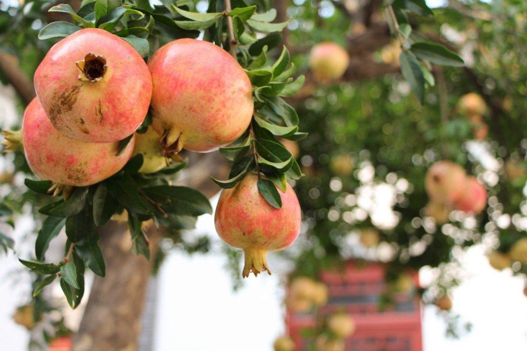 Pomegranate - Gulosha Rosavaya - fruit