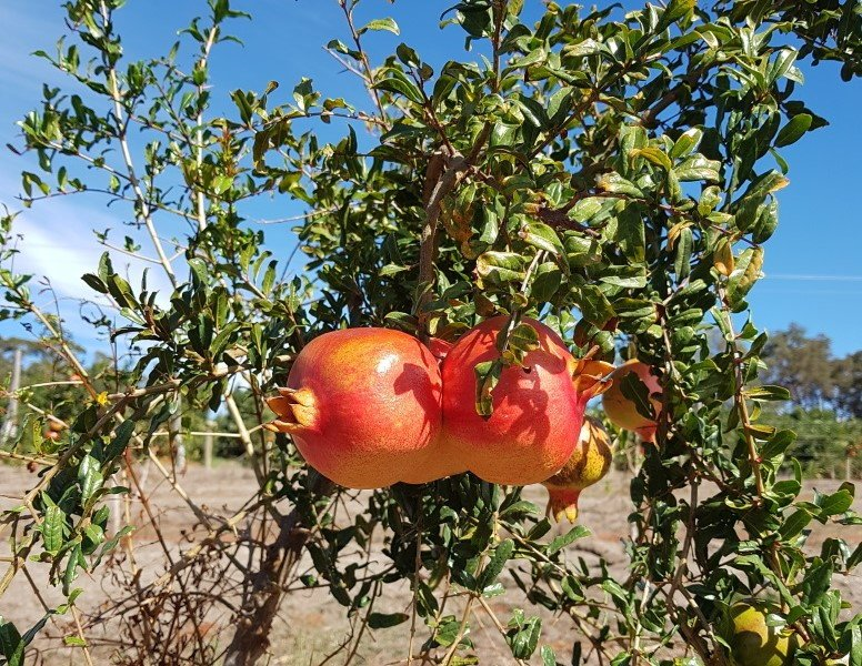 Pomegranate - Jodhpur Red