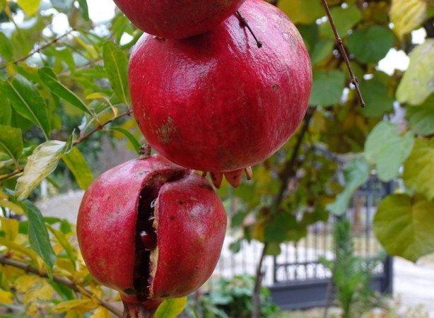 Pomegranate fruit crack
