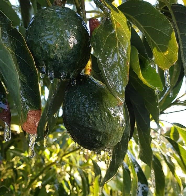 Avocados with icicles