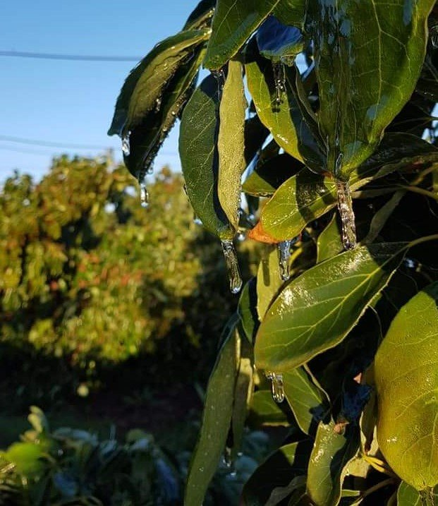 avocado leaves with icicles