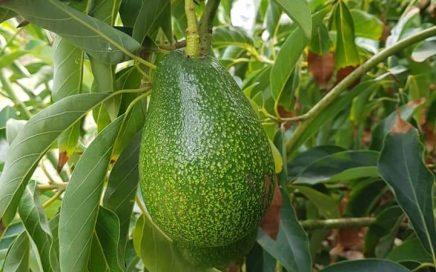 Ettinger avocado